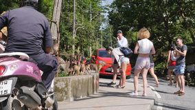 Tourists Feeding Wild Monkeys and Taking Photos in Tropical Jungle Park. Phuket Town Monkey Hill. Phuket, Thailand - 08. DEC 2017 stock footage