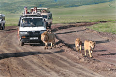 Tourists at jeeps, watching African lions in wild. Royalty Free Stock Photo