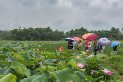 Tourists in lotus pond Stock Photo