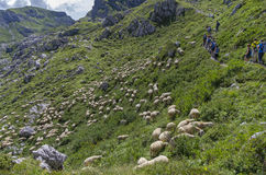 Tourists on a mountain trail over the flock of grazing sheep. Stock Photos
