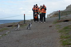 Tourists observe Magellanic penguins on Magdalena island in the Strait of Magellan near Punta Arenas. Royalty Free Stock Photos