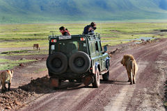 Tourists photograph lions, looking out of jeep. Royalty Free Stock Photos