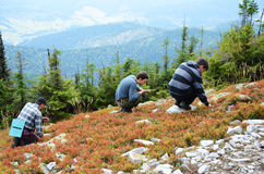 Tourists picking berries in the slope. Royalty Free Stock Photography