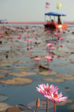 Tourists on Pink water lily in lake,Thailand. Royalty Free Stock Image