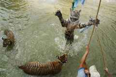 Tourists play with tigers in water Stock Photos