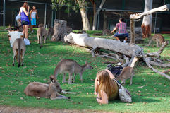 Tourists plays with kangaroos at zoo Stock Photos