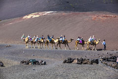 Tourists ride on camels being Stock Photo