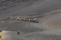 Tourists ride on camels being Stock Image