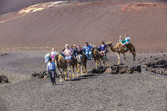 Tourists ride on camels being Royalty Free Stock Photography