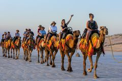 Tourists ride a team of camels along a beach in Australia. Tourists ride a team of camels along Cable beach at Broome in Western Australia, Australia in the royalty free stock image