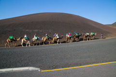 Tourists riding camels in Timanfaya National Park Stock Image