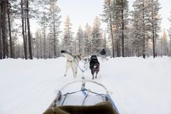 Tourists running a dogsled in Lapland Stock Images