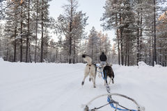 Tourists running a dogsled in Lapland Stock Photos