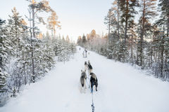Tourists running a dogsled in Lapland. Finland, Lapland Royalty Free Stock Images