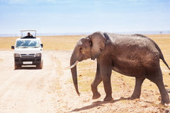 Tourists in safari jeep taking photos of elephant Royalty Free Stock Images