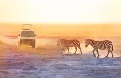 Tourists in safari jeep taking photos of zebras royalty free stock image
