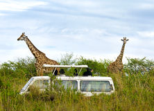 Tourists on safari take pictures of giraffes