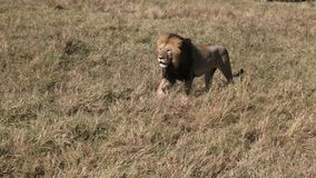 Tourists in safari 4wds watch two lions in masai mara. Kenya stock video footage