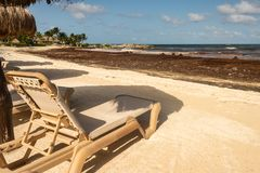 Tourists are staying away from a beach invaded with seaweed. Empty long chair as tourists are staying away from a beach invaded with Sargassum seaweed stock photos