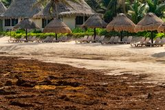 Tourists are staying away from a beach invaded with seaweed. Tulum, Mexico - 13 August 2018: empty long chairs as tourists are staying away from a beach invaded royalty free stock photography
