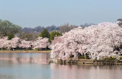 Tourists stroll by the cherry blossoms royalty free stock photo