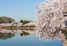 Tourists stroll by the cherry blossoms royalty free stock photography