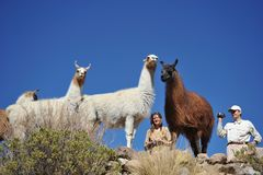 Tourists take pictures of Lamas of  in the vast Altiplano Royalty Free Stock Photography