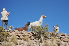 Tourists take pictures of Lamas of  in the vast Altiplano Royalty Free Stock Image