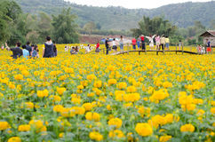 Tourists Taking Photos At Marigold Field In Loei Province, Thailand Royalty Free Stock Photography