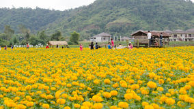 Tourists taking photos at marigold field in Loei province, Thailand Royalty Free Stock Images