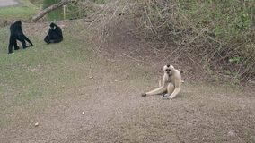 Tourists throw bananas to funny black and white macaques. Tourists throw bananas to funny black and white langur monkeys walking on dry grass in enclosure slow stock video