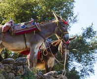 Tourists transported by donkeys to the Mount where was born Zeus according to Greek Mythology in Dikteon Cave or Ideon. Tourists transported by donkeys to Mount royalty free stock photo
