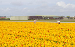 Tourists in a tulip field in The Netherlands. The Netherlands - 15th of April 2017 : Tourists taking photos in a field of yellow tulips in The Netherlands stock photo
