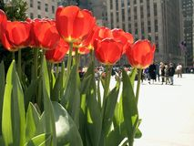 Tourists and Tulips Royalty Free Stock Images