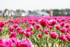 Tourists and tulips Stock Images