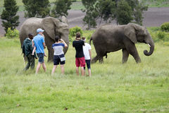 Tourists viewing African elephants in South Africa Royalty Free Stock Photos