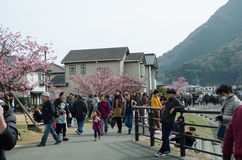 Tourists are visiting the cherry blossom Royalty Free Stock Photos