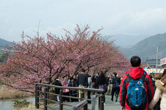 Tourists are visiting the cherry blossom stock photos