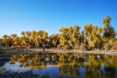 Tourists visiting Lively Golden Populus in autumn. In Autumn is the golden season of Populus diversifolia eyeful looked full of pictures depicting golden.The stock images