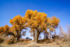 Tourists visiting Lively Golden Populus in autumn. In Autumn is the golden season of Populus diversifolia eyeful looked full of pictures depicting golden.The royalty free stock photo
