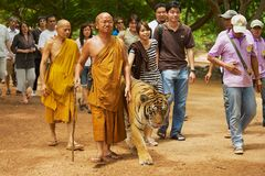 Tourists walk with tiger handled by Abbot Phra Acharn Phoosit Khantidharo in Tiger Temple Kanchanaburi, Thailand. KANCHANABURI, THAILAND - MAY 23, 2009 Royalty Free Stock Photos