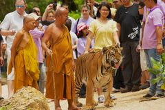 Tourists walk with tiger handled by Abbot Phra Acharn Phoosit Khantidharo in Tiger Temple Kanchanaburi, Thailand. KANCHANABURI, THAILAND - MAY 23, 2009 Royalty Free Stock Images