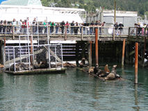 Tourists watch the California sea lions Stock Photos