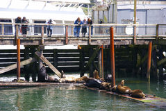 Tourists watch the California sea lions Royalty Free Stock Images