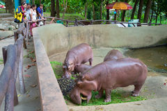 Tourists watch the feeding of hippos in Chiang Mai, Thailand Royalty Free Stock Photography