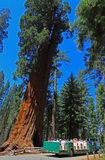 Giant Sequoia Park Tourists. Tourists looking Giant Sequoia from tram in Mariposa Grove National Park royalty free stock images