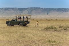 Tourists watching lions. Tourists watching male lion while he crossing the road just few steps from behind of their car Stock Photography