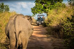 Tourists are watching wild elephant from safari jeep. Exploring life of wild elephants at jeep safari stock photography