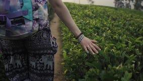 Tourists woman among many tea plantations at sri lanka, happy woman hiker stock video