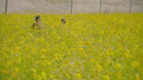 Tourists in the yellow cosmos field. stock video footage